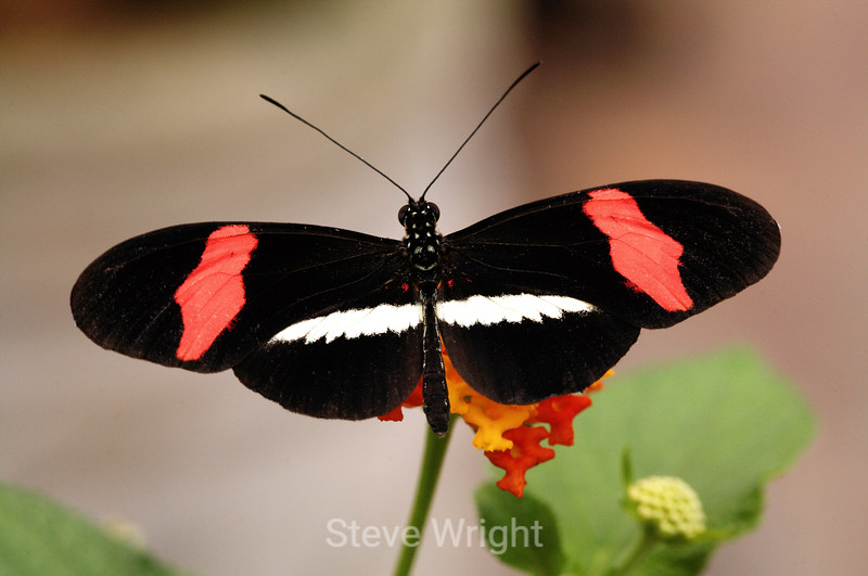 Helconius Erato Butterfly - Costa Rica (8) D