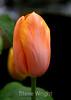 Tulip (60) D