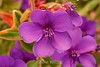 Pleroma Princess Flower - SF Zoo (12) D