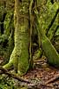 Mossy tree - Poas Volcano - Costa Rica (1) D