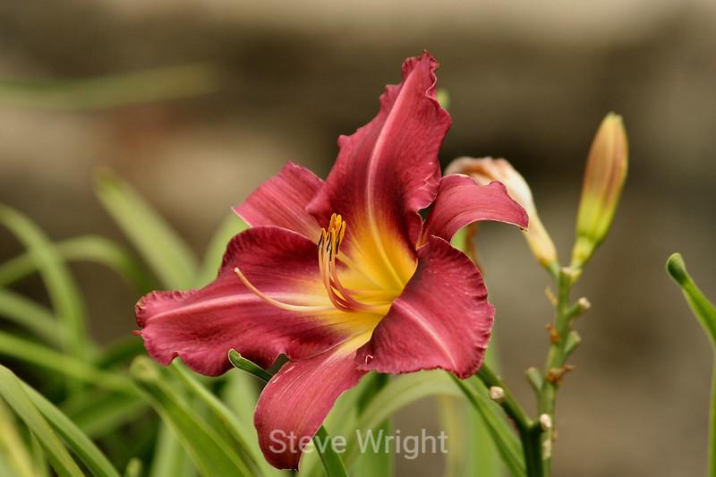 Hemerocallis (Day Lily) (37) D