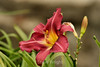 Hemerocallis (Day Lily) (37) D