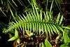 Ferns - Poas Volcano - Costa Rica (16) D