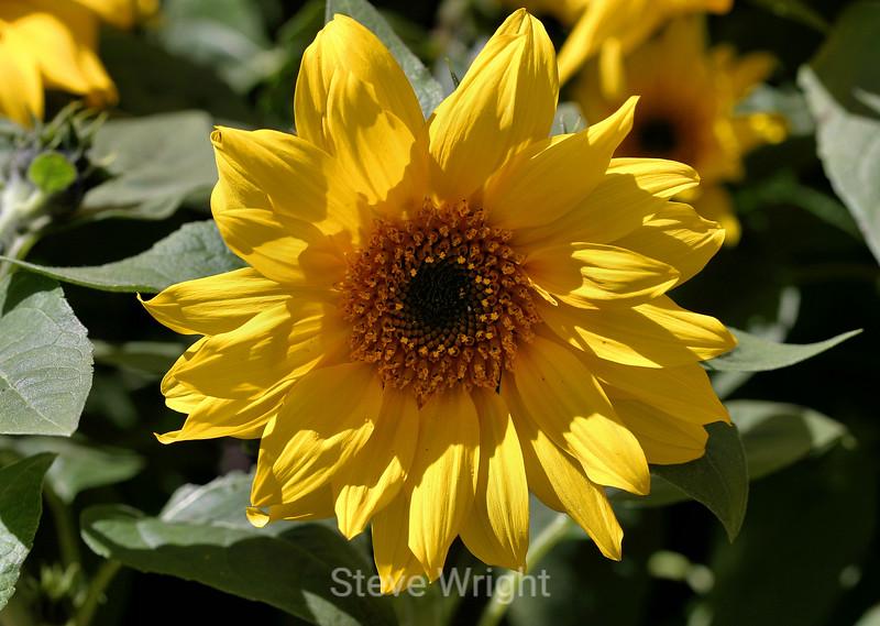 Sunflower (2) D