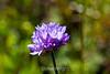 Blue Dick flowers - Garrapata (1)