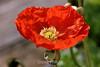 Poppy (132) D