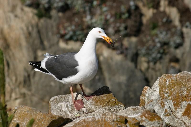 Seagull - Point Lobos (4) D