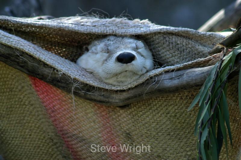 Otters - SF Zoo (2) D