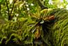 Bromeliads - Poas Volcano - Costa Rica (15) D