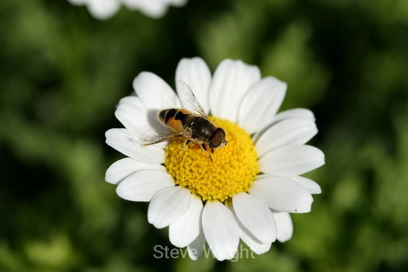 Chrysanthemum (172) D