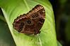 Morpho Peleides Butterflies - Costa Rica (6) D