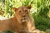 Lion Cubs - SF Zoo (62) D