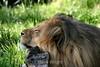 Lion - SF Zoo (53) D