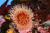 Anemone - Monterey Aquarium (41) D