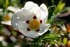 Brown-Eyed Rock Rose - SF Zoo (16)