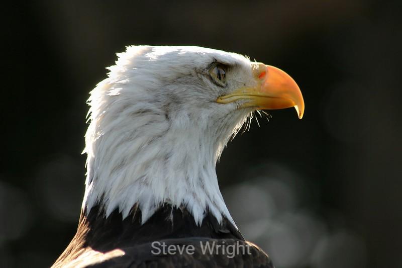 Bald Eagle - SF Zoo (15) D