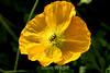 Poppy (131) D