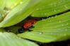 Blue Jeans Poison Dart Frog - La Paz Costa Rica (1) D new