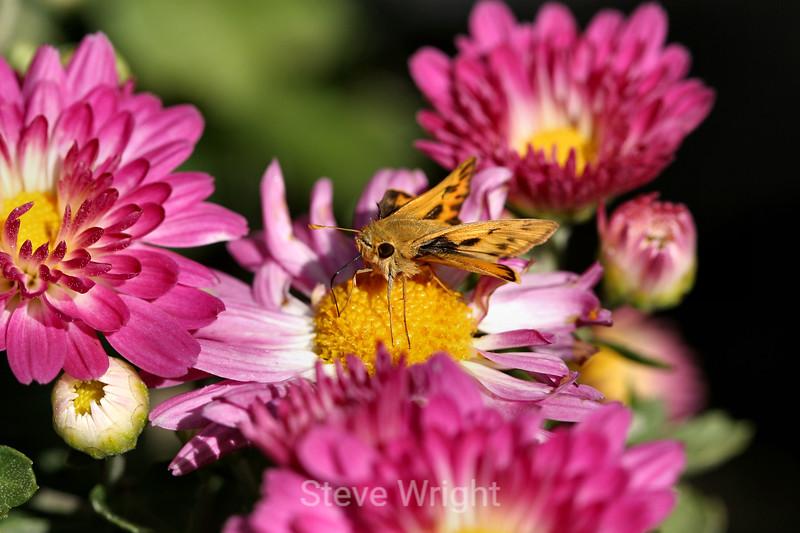 Chrysanthemum (190) D