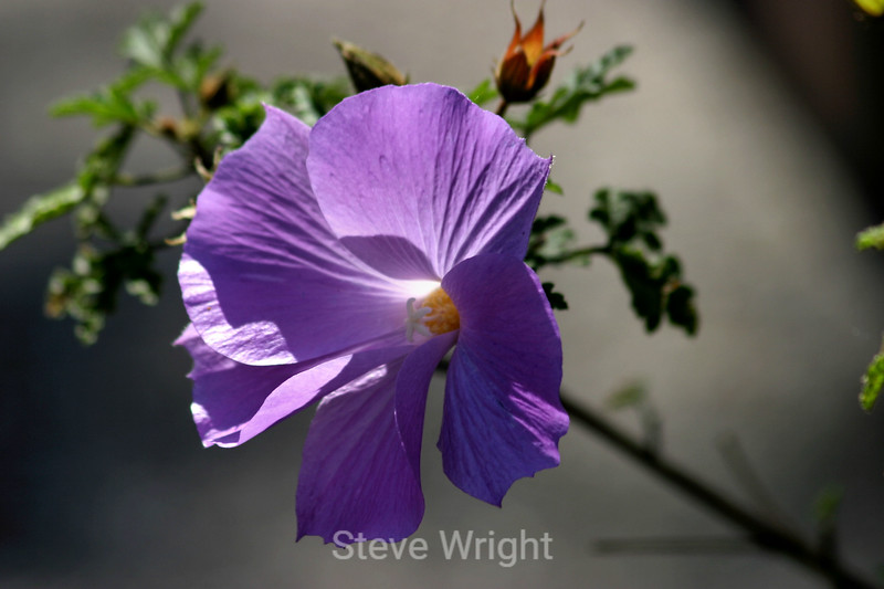 Lilac Hibiscus (2) D