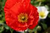 Poppy (133) D