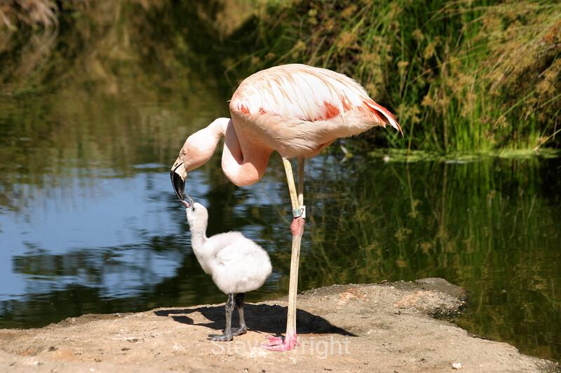 Flamingos - SF Zoo (8) D