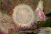 Anemone - Monterey Aquarium (15) D