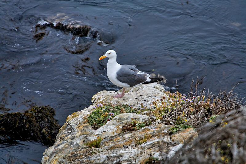Seagulls - Point Lobos (1)