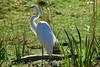 Great Egret - SF Zoo (4819)