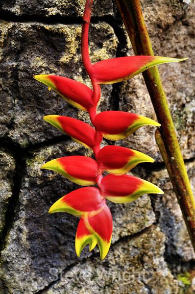 Heliconias - La Paz Costa Rica (2) D