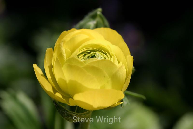 Ranunculus (50) D