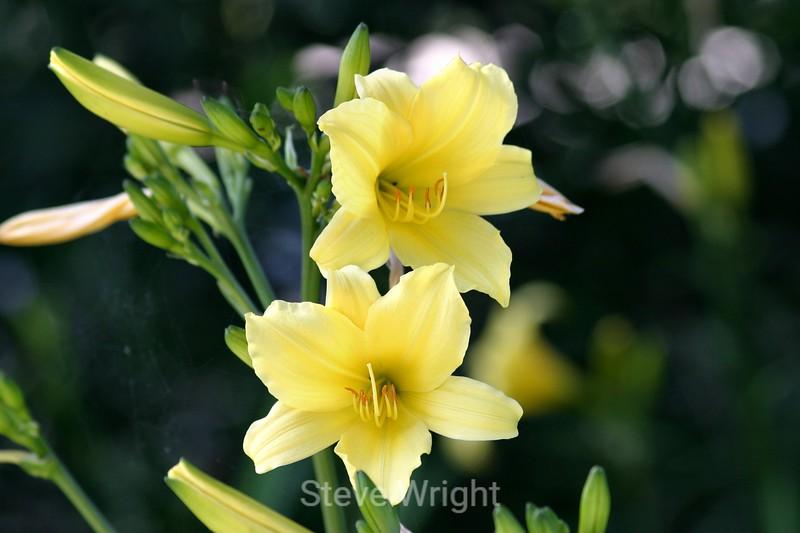 Hemerocallis (Day Lily) - SF Zoo (33) D