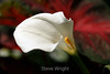 White Arum Lily (1) D