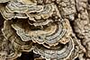 Trametes versicolor mushrooms - Garrapata (4)