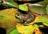 Frogs - Hakone Garden (4) D