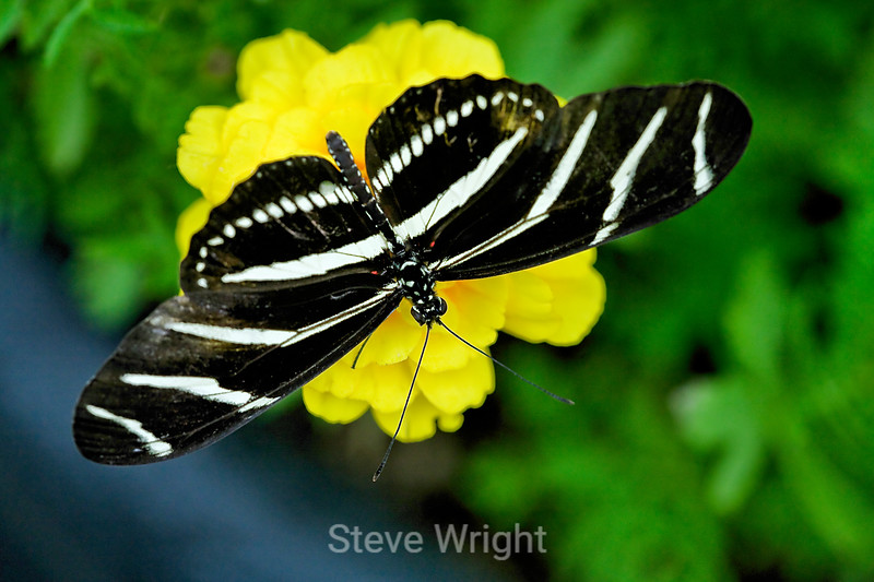 Zebra Longwing Butteflies - Conservatory of Flowers (12)