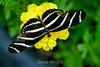 Zebra Longwing Butteflies - Conservatory of Flowers (12)