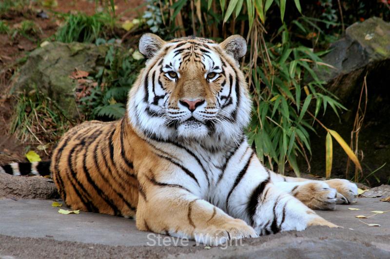 Tigers - Oregon Zoo (44) D