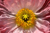 Poppy (128) D