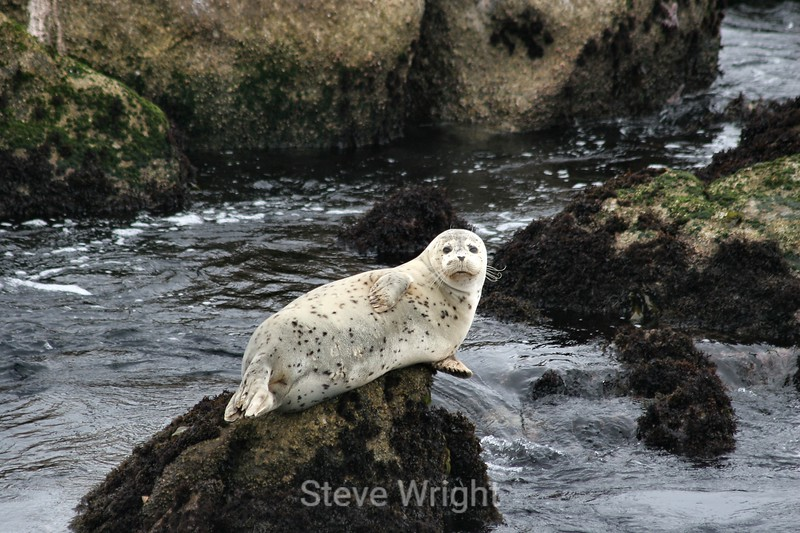Harbor Seals - Monterey Bay (28) D