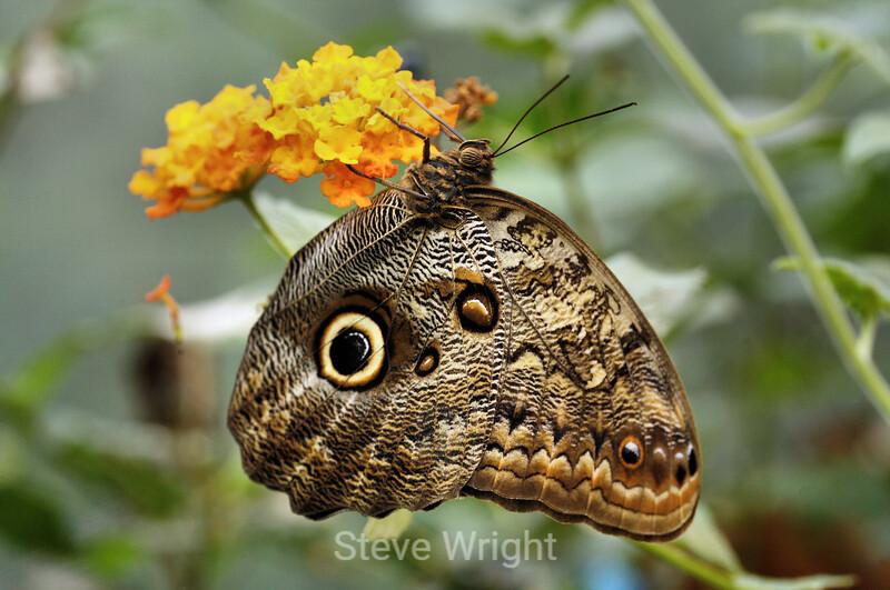 Owl Butterflies - Costa Rica (2) D