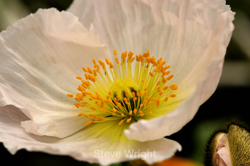 Poppy (125) D