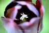 Tulip (88) D