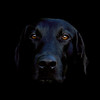 My black labrador, Shane<br /> <br /> Thank you all so much for your very kind comments.<br /> <br /> I keep meaning to dig the original out and do a tutorial on how I made this image.<br /> <br /> Leave me a comment to help motivate me!