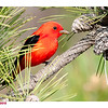 SCARLET TANAGER - ROBERT MOSES