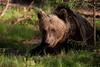 Brown Bear.