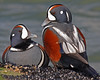 "This photograph of a pair of male Harlequin ducks was captured in the Barnegat Bay, NJ area (1/07).   <FONT COLOR=""RED""><h5>This photograph is protected by the U.S. Copyright Laws and shall not to be downloaded or reproduced by any means without the formal written permission of Ken Conger Photography.<FONT COLOR=""RED""></h5>"