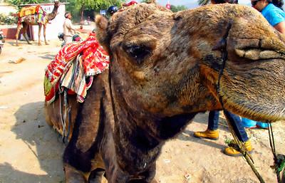 Camel Ride, Jaipur