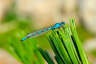 the blue damsel