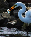Amazing Skewer Tech -Great Egret, Topsmelt, Bolsa Chica Wetlands